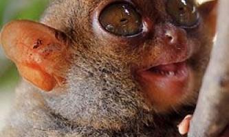 Унікальні способи спілкування між філіппінськими долгопятами