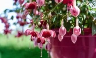 Умови вирощування фуксії і правила догляд вдома