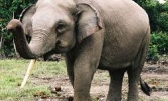 В індонезії через пальмового масла гинуть слони