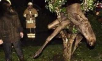 У швеции п`яний лось виліз на дерево
