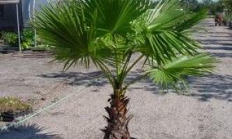 Вашингтонія: правила вирощування віяловій пальми в приміщенні