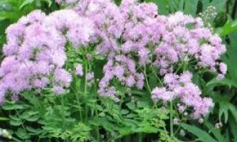 Василистник: вирощування луговий рути в саду