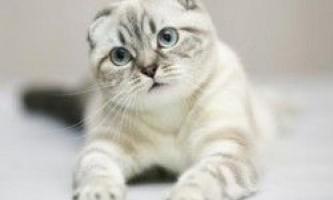 В`язка шотландських кішок