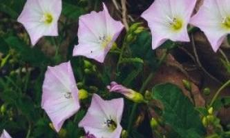 Березка польова (берізка) - лікувальні властивості