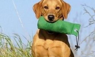 Виховання і дресирування собаки
