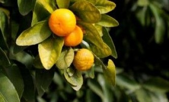 Вирощування мандарина будинку і догляд за ним