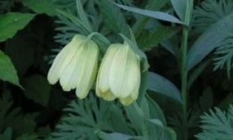 Вирощування рябчика бледноцветкового