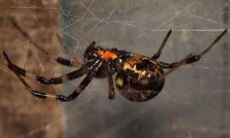 Навіщо павуки позбавляються дітородних органів?