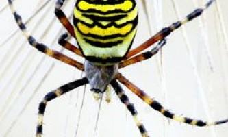 Навіщо павуки прикрашають свої павутини?