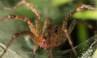 Навіщо самки павуків з`їдають своїх партнерів?