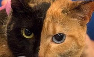 """Загадкова кішка з """"двома особами"""": незвичайне забарвлення тварин"""